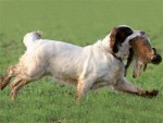Do show-winning spaniels ever compete successfully in trials?