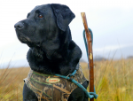 Which is the best gundog breed for wildfowling?