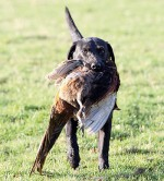 How do I stop my gundogs squabbling?