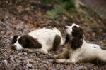 Is it easy to start breeding gun dogs?