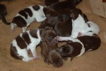 What'll it be like when my gundog has puppies?