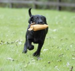 How do you train gundog puppies?