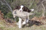 How do you bring on a part-trained gundog?