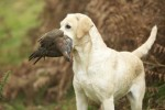 60 years of rising gundog standards
